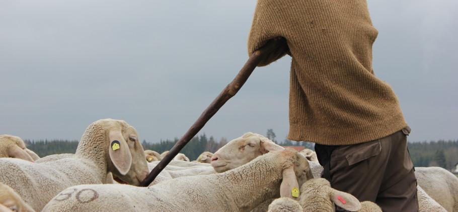 Schäfer inmitten seiner Schafherde