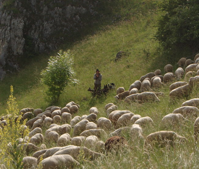 Schäfer und Schafherde auf der schwäbischen Alb