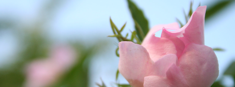 Nahaufname von Rosenblüten