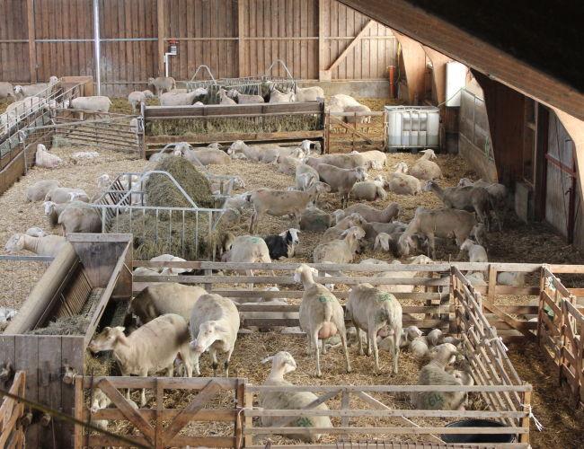 Schafherde im Stall